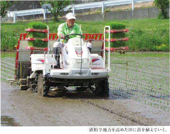 酒粕で地力を高めた田に苗を植えていく。